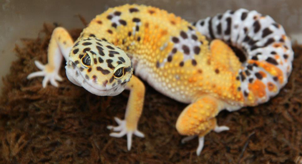 Carrot Tailed Leopard Gecko looking at camera