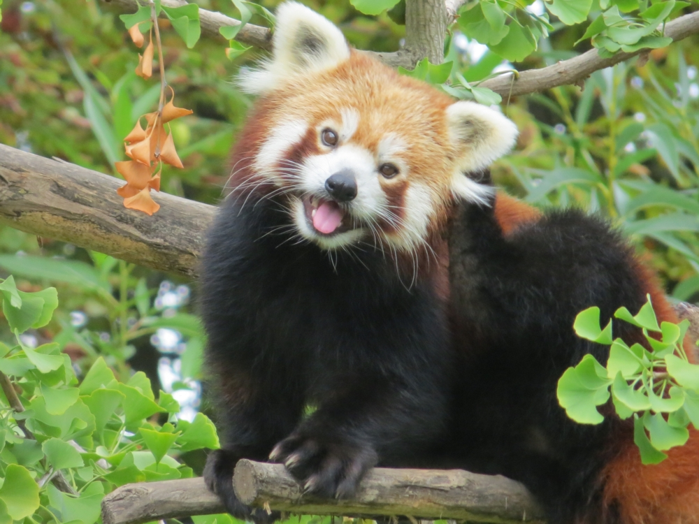 red_panda_in_a_gingko_tree.jpg